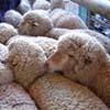 求购小尾寒羊良种