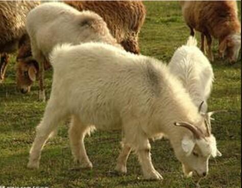 羊温热病怎么治疗最好