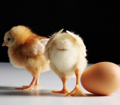 鸡支原体的临床症状