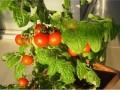 阳台西红柿的种植方法