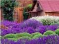 薰衣草的养殖栽培管理