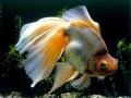 金鱼怎样养更漂亮