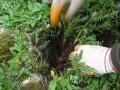 黄芪种植技术