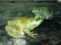 林蛙卵的孵化技术