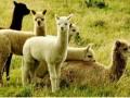 羊驼的饲养特点