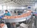 提高鸡产蛋量的措施