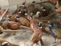 山鸡雉群饲养技术