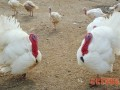 美国大型白羽宽胸尼古拉火鸡介绍