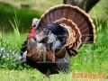 火鸡的营养需要和饲料配方