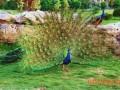 珍禽新秀—孔雀