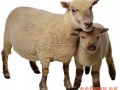 氨化饲料喂羊的好处