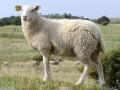 小尾寒羊种公羊配种期饲料