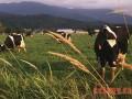 犊牛快速育肥技术