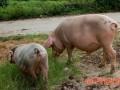 猪一天吃多少饲料合适