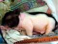 香猪的饲养管理原则