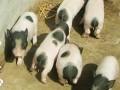 香猪的人工授精