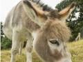 如何肉驴得了肠阻塞主要表现腹痛