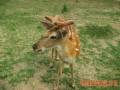 鹿茸真菌病