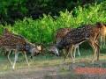 鹿适宜的敏殖年龄