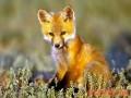 养狐必须把握关键环节