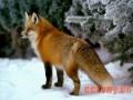 成年狐各时期的饲养管理