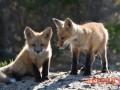 母狐的发情与配种