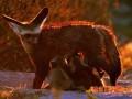 狐繁殖期的饲养管理