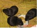 黑豚鼠的日常饲养注意要点