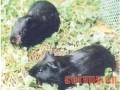 黑豚的行为-性争斗行为