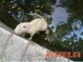 海狸鼠常见病的诊断与治疗