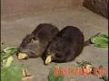 海狸鼠的选种和配种