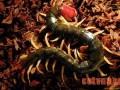 蜈蚣饲养管理方法与技术