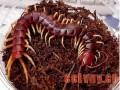 种蜈蚣的饲养管理