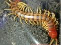 蜈蚣养殖的关键