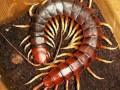 中国红头巨蜈蚣饲养管理