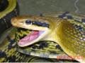 人工养蛇秋季管理
