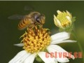 蜜蜂的夏季管理