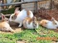 肉兔群养肥育技术