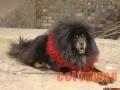 藏獒疾病性不育