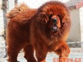 藏獒犬的行为特征及训练技巧
