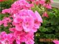天竺葵怎么种植