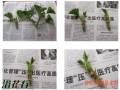 天竺葵的顶芽扦插方法(附过程图)