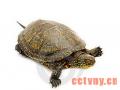 黄喉拟水龟的生活习性
