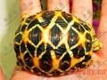 金头闭壳龟的生活习性