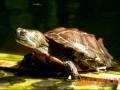 石金钱龟与蚯蚓混养技术
