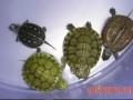 黄缘盒龟亲龟培育和龟卵孵化