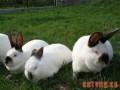 学会对獭兔药物的使用