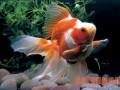 盆养金鱼的养殖方法