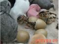 山鸡简易孵化方法