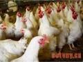 肉鸡舍通风的误区